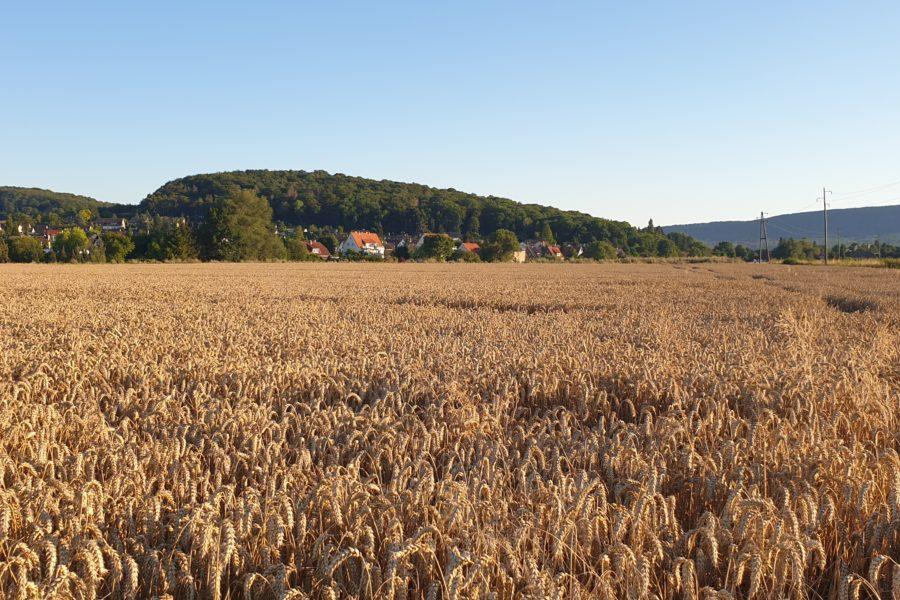 Draufsicht Külf und Weizen